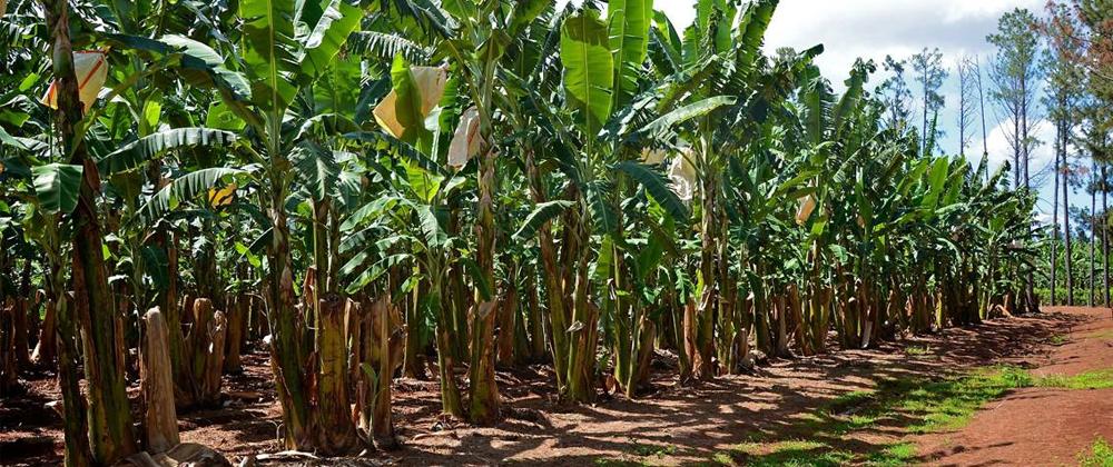 Condiciones del suelo para la siembra de banano